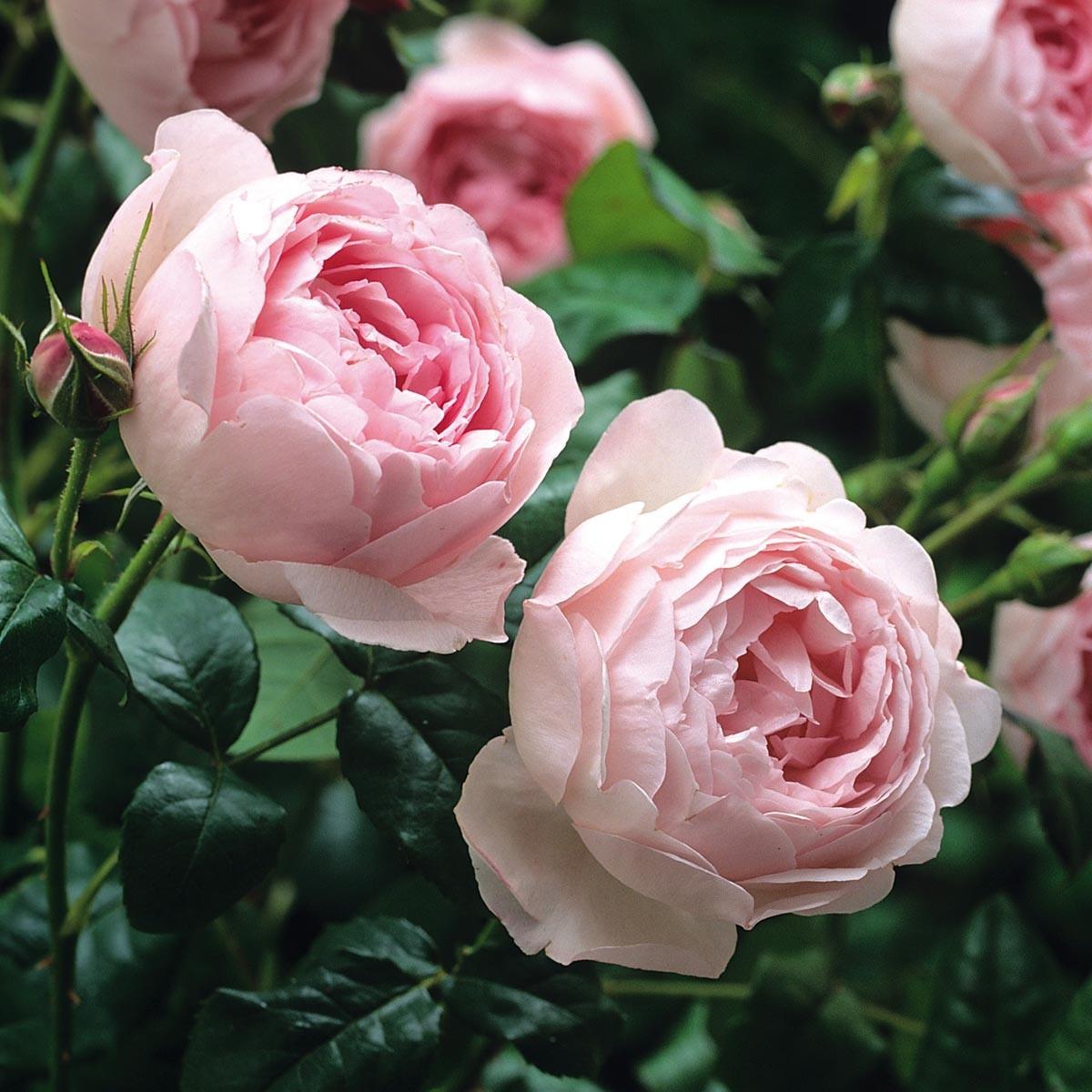กลิ่น English Rose
