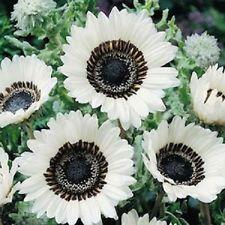 """ดอกเวนิเดียม""""ซูลู วอริเออร์"""" 5 เมล็ด/ชุด"""