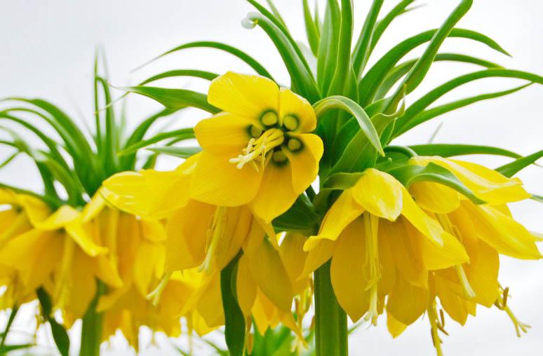 ดอก Imperial Crown (Yellow) / 5 เมล็ด