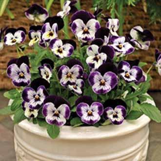 Viola Pansy Micky ดอกหน้าแมว / 30 เมล็ด